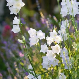 Campanula persicifolia White Flower Plants