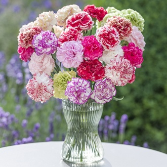 Perpetual flowering Carnation Plant Collection
