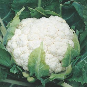 Cauliflower Aalsmeer AGM Plants