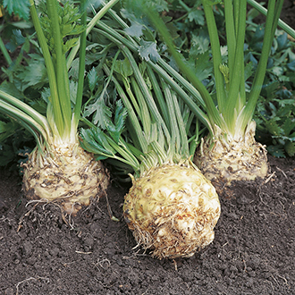 Celeriac Ilona F1 Plants