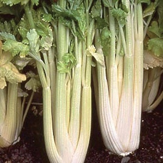 Celery Loretta AGM Veg Plants