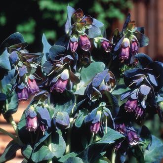 Cerinthe major Purpurescens Plants