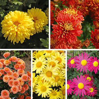 Chrysanthemum Hardy Plant Collection