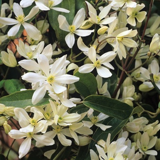 Clematis armandii Plants