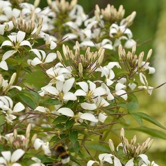 Cleome Senorita Flower Plant Collection