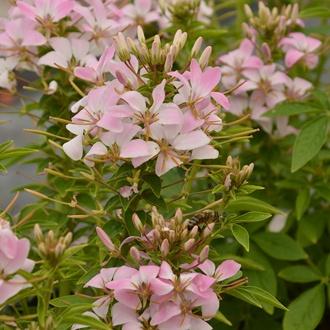 Cleome Senorita Carolina Flower Plants
