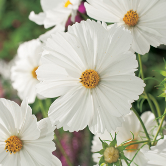 Cosmos Purity Plants