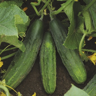Cucumber Snacker F1 Plants