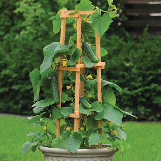 Cucumber Patio Snacker F1 Plants