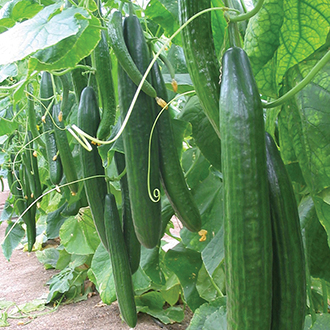 Cucumber Carmen F1 Plants