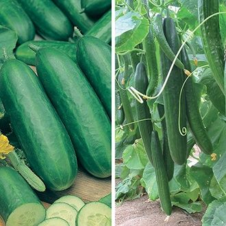 Cucumber Veg Plant Collection