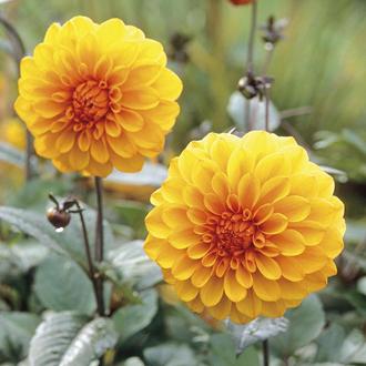 Dahlia David Howard Flower Plant