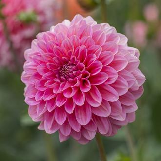 Dahlia (Decorative) Pink Runner Plants