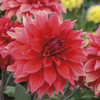 Dahlia Babylon Red