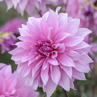 Dahlia (Decorative) Babylon Lilac Gevland Plants
