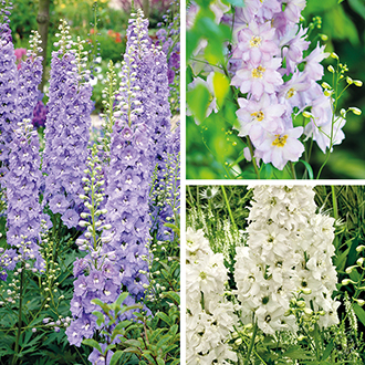 Delphinium Plant Collection
