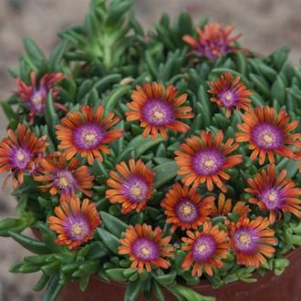Delosperma Sundella Apricot Flower Plants