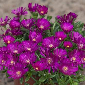 Delosperma Sundella Neon Flower Plants