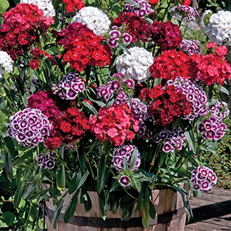 Dianthus Sweet Mixed F1 Plants