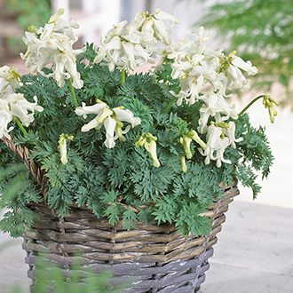 Dicentra Ivory Hearts Plants