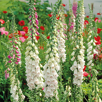 Digitalis Alba Plants