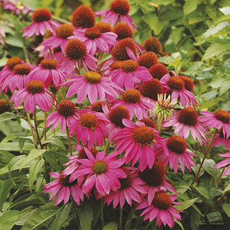 Echinacea PowWow Wild Berry Plants
