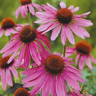 Echinacea Magnus Plant