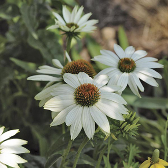 Echinacea PowWow White Plants