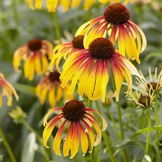 Echinacea Fiery Meadow Mama plants