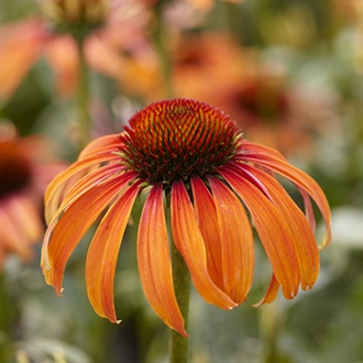 Echinacea Laughing Meadow Mama plants