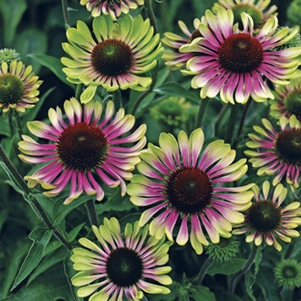 Echinacea Green Twister Flower Plants