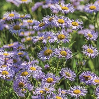 Erigeron Azure Beauty Plants