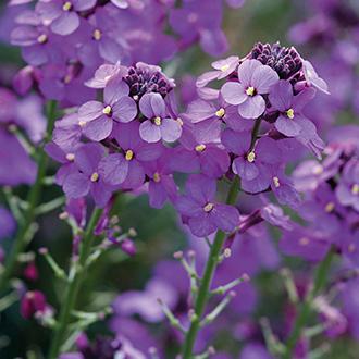 Erysimum Bowles Mauve Flower Plants