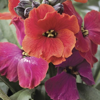 Erysimum Red Jep Plants