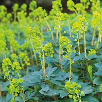 Euphorbia amygdaloides var. robbiae Plants