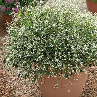 Euphorbia Silver Fog Plants