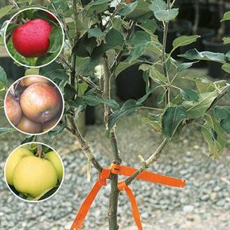 Family Apple fruit tree