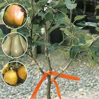 Family Pear fruit tree