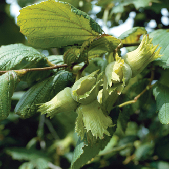 Nut Kent Cob fruit tree