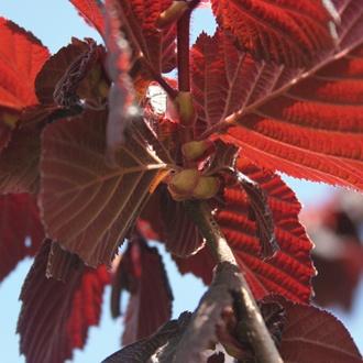Nut Red Filbert Tree