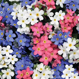 Myosotis Sylvia Mixed Plants