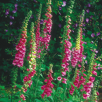 Foxglove Flower Plants