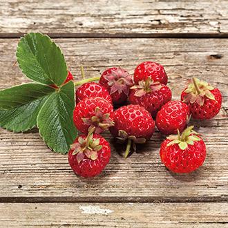 Framberry Plants x 3