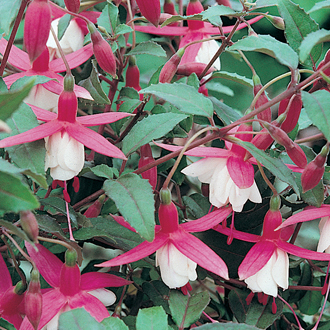 Fuchsia (Hardy Bush Type) Alice Hoffman Plants