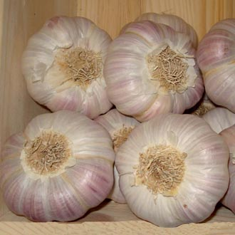 Garlic Lautrec Wight