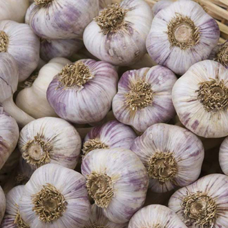 Garlic Early Purple Wight Bulbs (Softneck)