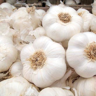 Garlic Provence Wight Bulbs (Softneck)