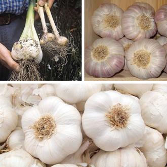 Garlic Bulb Collection