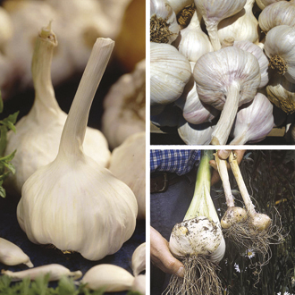 Garlic Collection - Spring & Autumn Planting