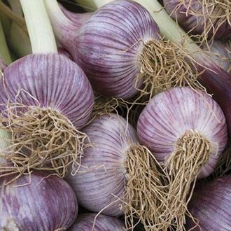 Garlic Caulk Wight bulbs